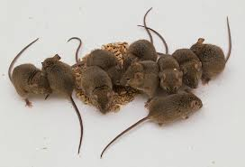 House Mice They Prefer To Nest Indoors But During The Summer Months Will Outside Are Found Ranging From Bats Attics